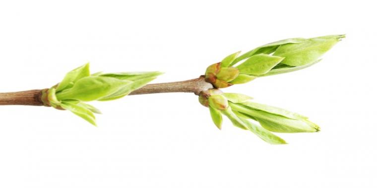 Gemmothérapie : Tout le génie de la plante